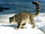 The snow leopard eluded the scientists