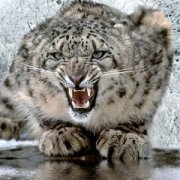 Snow leopards on trans-border territory