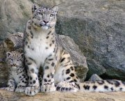 How does the snow leopard live in South Siberian mountains?