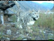 Expedition to study the Snow Leopard habitat started off in the Sayan mountains